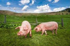 生肖猪2020年农历八月运势如何?属猪人适合什么职业?